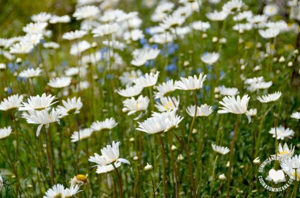 Wild flowers in Constanza